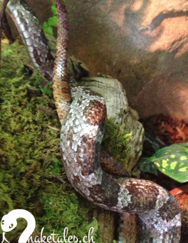 Bei einem Kommentkampf umschlingen sich viele Schlangenarten und kann deshalb als Balzverhalten missinterpretiert werden