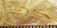 Nahaufnahme von Fadenwürmer