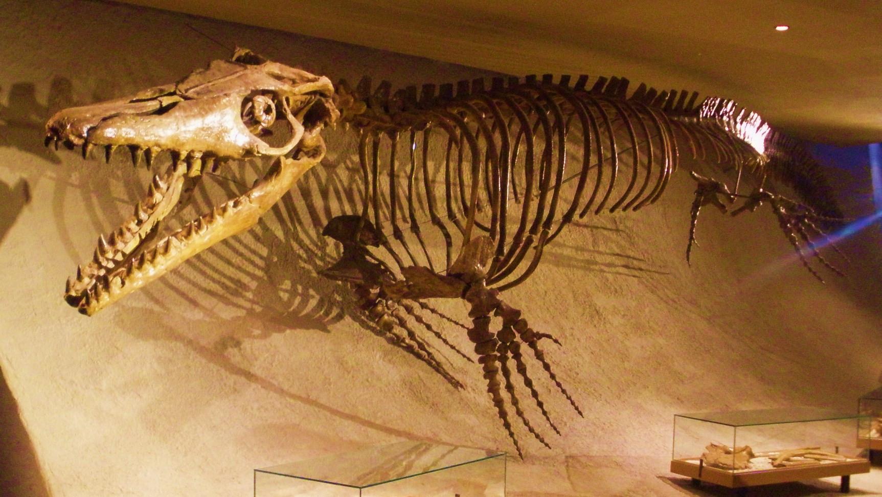 """Mosasaurus (""""Echse von der Maas"""") ist eine Gattung der Mosasaurier (Mosasauridae), einer ausgestorbenen Familie großer Meeresreptilien aus der Zeit der Oberkreide. Die Gattung war namensgebend für die Mosasauridae, Schuppenkriechtiere, die hochgradig an eine aquatische Lebensweise angepasst waren. William Daniel Conybeare veröffentlichte 1822 die Erstbeschreibung der Gattung.[1] Mosasaurus war einer der letzten, am weitesten entwickelten und größten Mosasaurier. Lebendrekonstruktion von M. hoffmannii Das erste Fossil, der Schädel des Holotypus (NMHN AC. 9648), wurde etwa 1770 von niederländischen Bergleuten in der Nähe von Maastricht gefunden. Nach dem Einmarsch französischer Truppen wurde der Schädel 1794 als Kriegsbeute nach Paris gebracht. Dort fand eine erste Untersuchung durch den französischen Naturforscher Georges Cuvier statt. Die größte Art der Gattung, M. hoffmannii, erreichte wahrscheinlich knapp 18 Meter Gesamtlänge. Sie ist auch die Typusart. Gideon Mantell benannte 1829 die Art nach dem vermeintlich an der Bergung des Schädels beteiligten Militärchirurgen Johann Leonard Hoffmann.[2] Mosasaurus war das erste Reptil, bei dem anerkannt wurde, dass es eine nicht mehr existierende Art aus einer Vorwelt war. Zuvor hielt man Fossilien für Überreste rezenter (oder vielmehr unveränderlicher) Arten."""